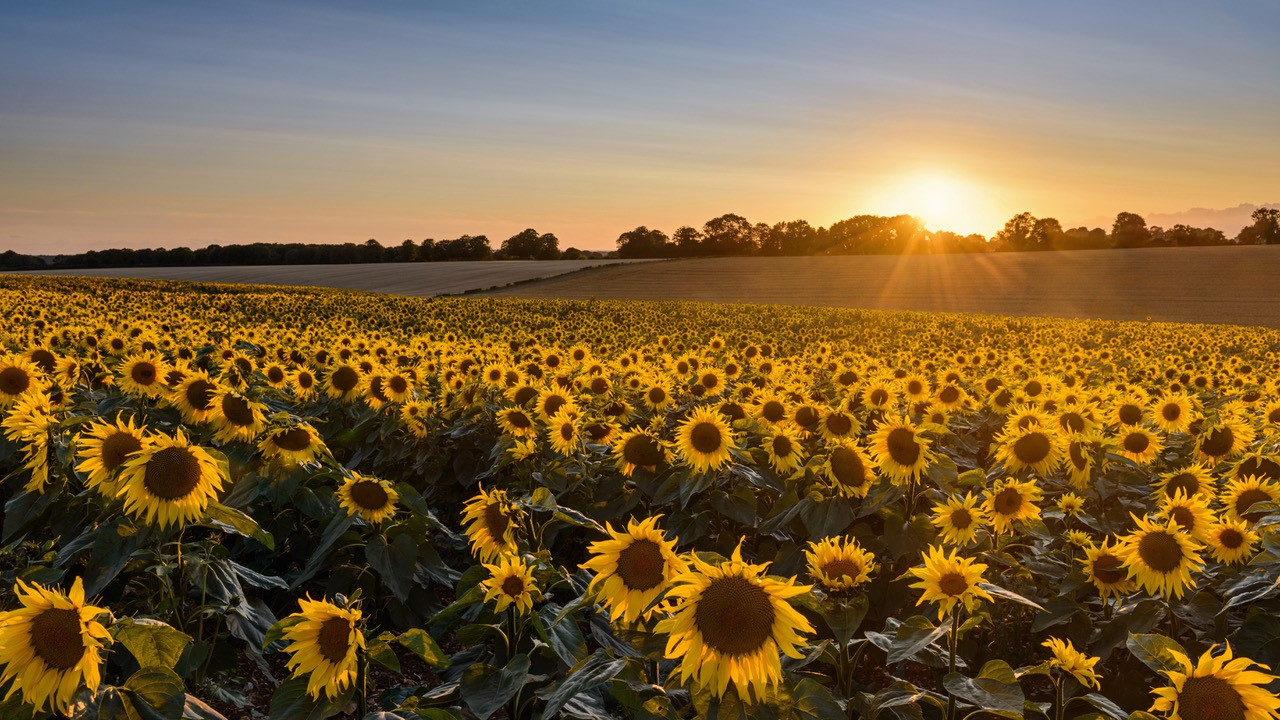 AH-sunflowers-Nov-20-1
