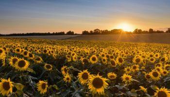 AH sunflowers Nov 20 (1)