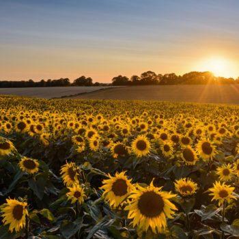 AH-sunflowers-Nov-20-1-1